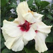 Love Pat hibiscus