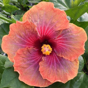 Connie Roush hibiscus