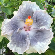 Mountain Mist hibiscus