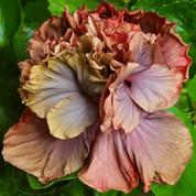 Cocoa Royale hibiscus