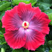 Ruby Tuesday hibiscus
