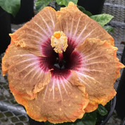 Bridgette hibiscus-MEMORIAL SALE