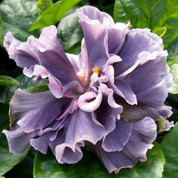 Marianne Charlton hibiscus