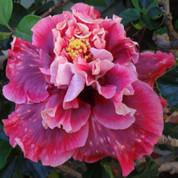 Magnifique hibiscus