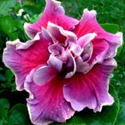 Tahitian Trace Vermont hibiscus