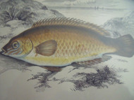 JONATHAN COUCH:Set of 4 Fish Engravings Hand Color C1870 Birds Eye Maple Framed