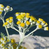 Helichrysum