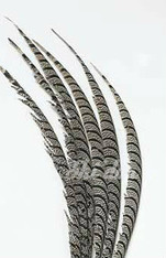 5 Pieces - Zebra Pheasant Feather 30-35 inch - Natural