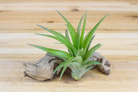 Green Abdita Air Plant
