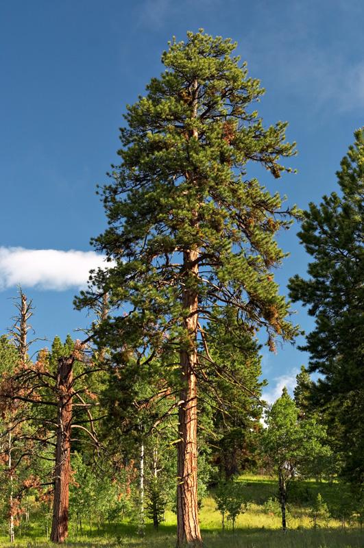 ponderosa-pine-1a.jpg