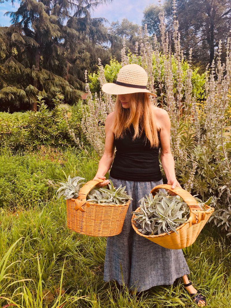 White Sage harvest on the farm