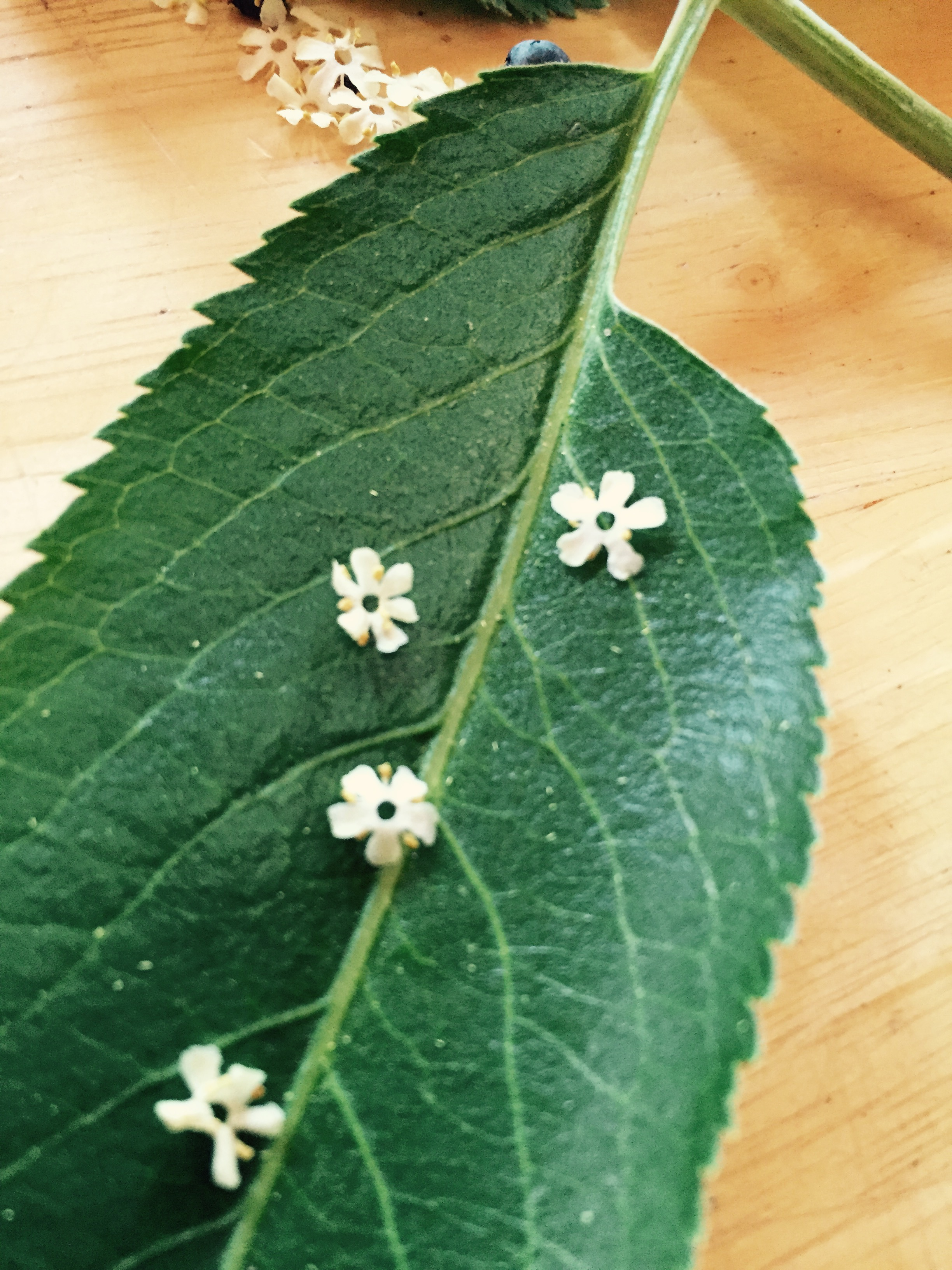 Sierra Elder flowers on elder leaf