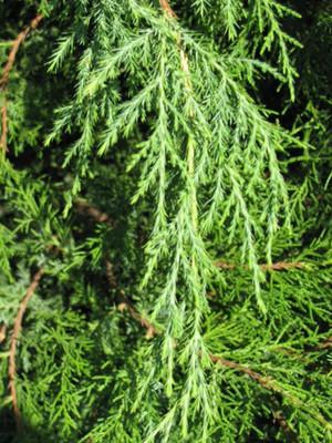 Cedar Tincture