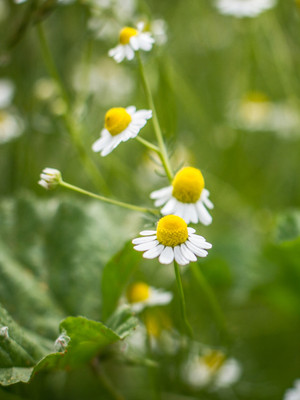 Chamomile Tincture Fresh plant chamomile flowers extracted into BD pure grape alcohol.