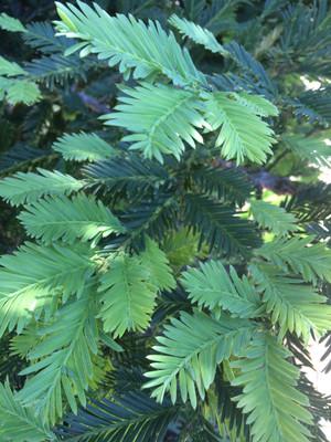 Redwood Tincture