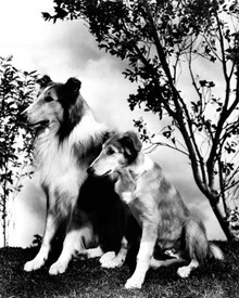 Lassie in Son of Lassie Poster and Photo