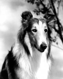 Lassie in Lassie Come Home Poster and Photo