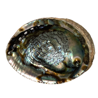 "Abalone Shell - 6-7"" - Sustainably Harvested"