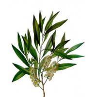 Tea Tree (Melaleuca alternifolia) - Immune Stimulant