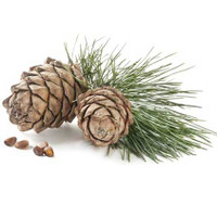 Scotch Pine (Pinus sylvestris)