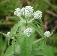 Boneset - Herbal Tincture ~ 1:2