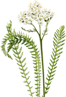 Yarrow (Achillea millefolium) Infused Herbal Oil