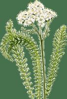 Yarrow (Achillea millefolium) Oil