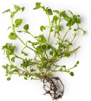 Chickweed (Stellaria media) Herbal Infused Oil