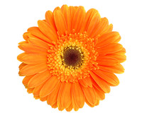 Calendula (Calendula officinalis) Oil