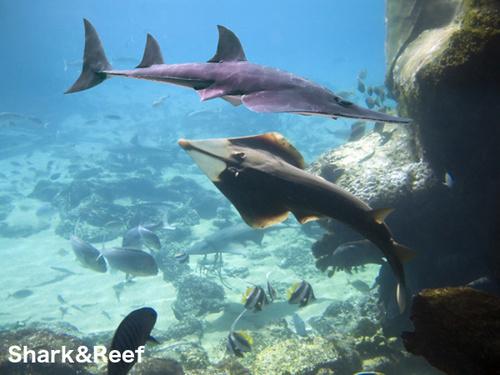 shovelnose-guitarfish-view-1-83843.1480216051.500.750.jpg