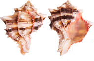 Brassica Murex Sea Shell (2 Piece)