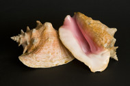 Pink Conch (1 Piece, Large)