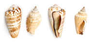 Strombus Sea Shells 1/2 lb. Bag