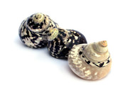Polished Pica Sea Shell Set (2, Black, Small - 2 Inches)