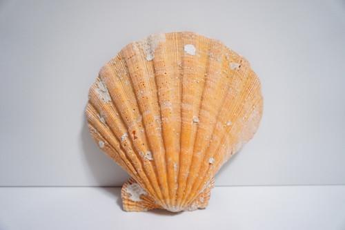 "Large Lion Paw Orange Sea Shell (7"" x 7"")"
