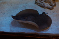 No Tail California Round Sting Ray **Rare**