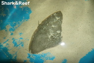 California Butterfly Ray