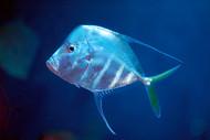 Look Down Fish - Selene vomer (Lot of 3)