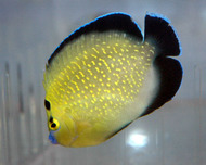 Goldflake Angel - Apolemichthys xanthopunctatus (X-Large)