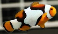 Picasso Clown: A Grade; Captive Bred. - Amphiprion percula (Set of 2)