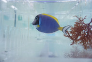 Powder Blue Surgeon - Acanthurus leucosternon
