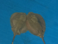 X-Large California Round Ray (Urolophus Halleri) Matured Breeding Size, Male
