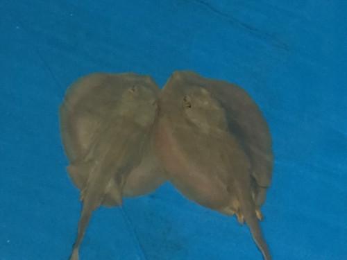 Male Sting Ray XL