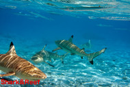Black Tip Reef Shark (California Excluded)