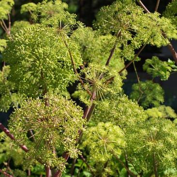 Botanical - Angelica archangelica