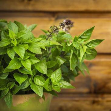 Botanical - Ocimum sanctum