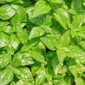 Botanical - Ocimum citriodorum