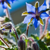 Botanical - Borago officinalis