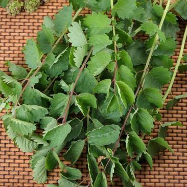 Botanical - Pimpinella saxifraga