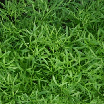 Botanical - Coriandrum sativum